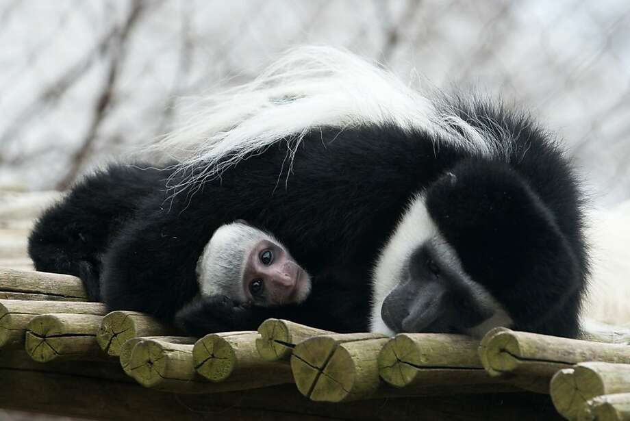 Ohio's new monkey nerd: The Columbus Zoo and Aquarium in Powell, Ohio, named this baby Colobus monkey Dr. Sheldon Cooper after the 