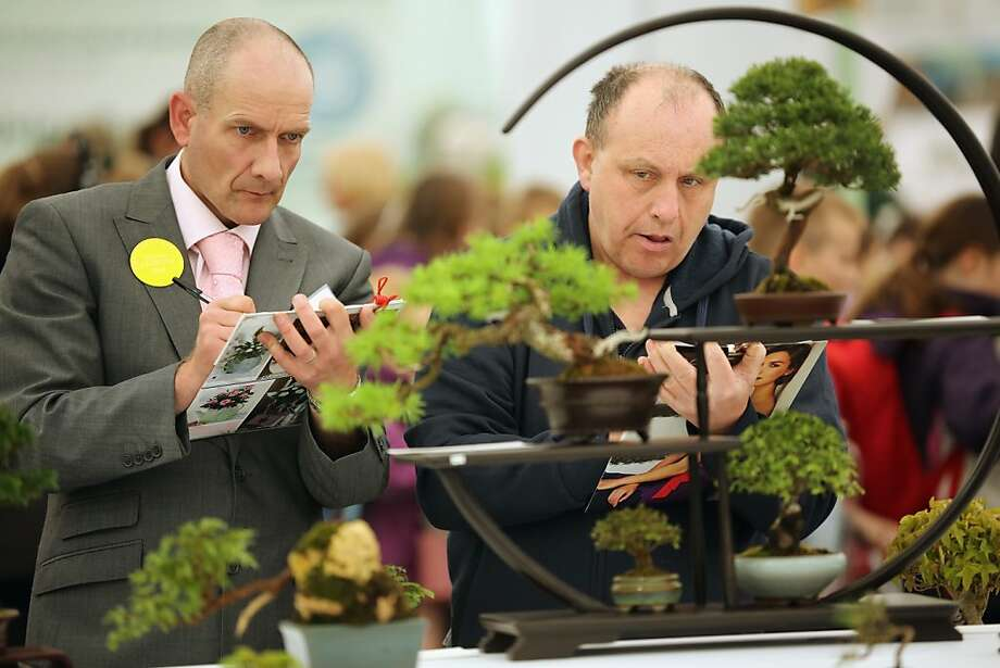 That withering gaze can't be good news for the dwarf cypress: Judges evaluate bonsai trees at the Harrogate Spring Flower Show in Harrogate, England. Photo: Christopher Furlong, Getty Images