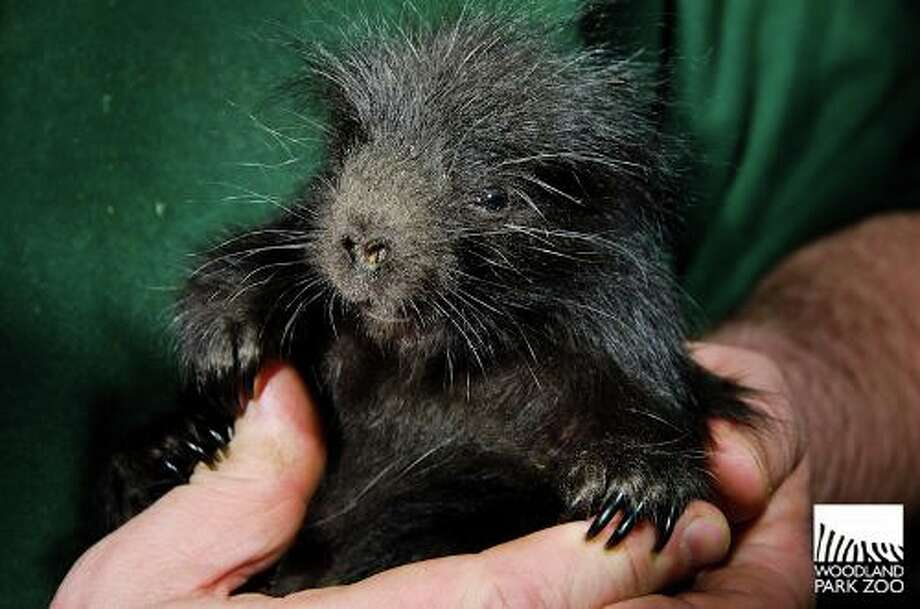 "A Woodland Park Zoo staffer holds the zoo's new ""porcupette"" (baby porcupine). The male was born on April 18, 2013."