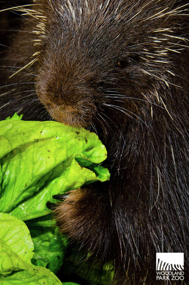 "The Woodland Park Zoo's new ""porcupette"" (baby porcupine) checks out a lettuce leaf. The male was born on April 18, 2013."