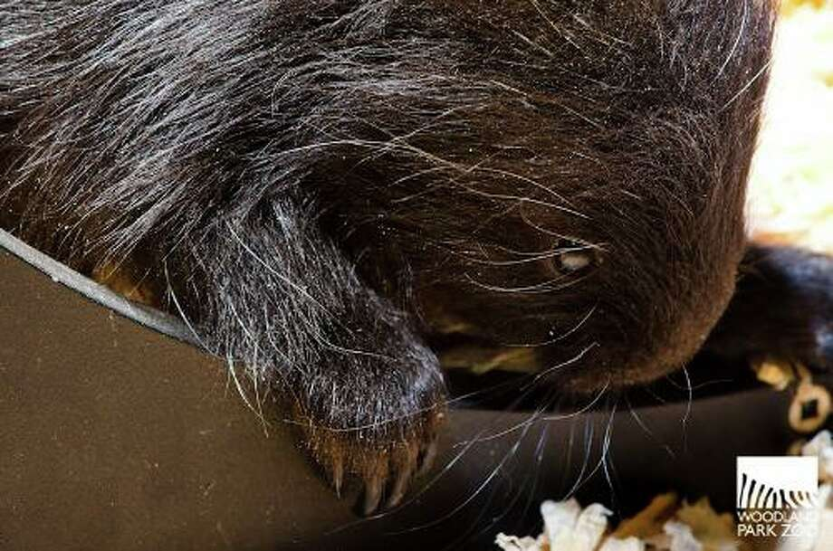 """The Woodland Park Zoo's new """"porcupette"""" (baby porcupine) is shown in its den. The male was born on April 18, 2013."""