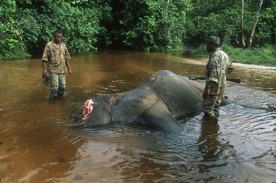 why zambia should give up on their quest to evade elephant poaching bans bans Illegal hunting in zimbabwe yet another shocking case of some unscrupulous people destroying our country's wildlife in their quest elephant poaching bans.
