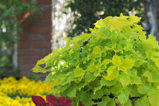 Coleus foliage varies from vibrant chartreuse to deep burgundy. The plants tolerate sun or shade, depending on the variety.