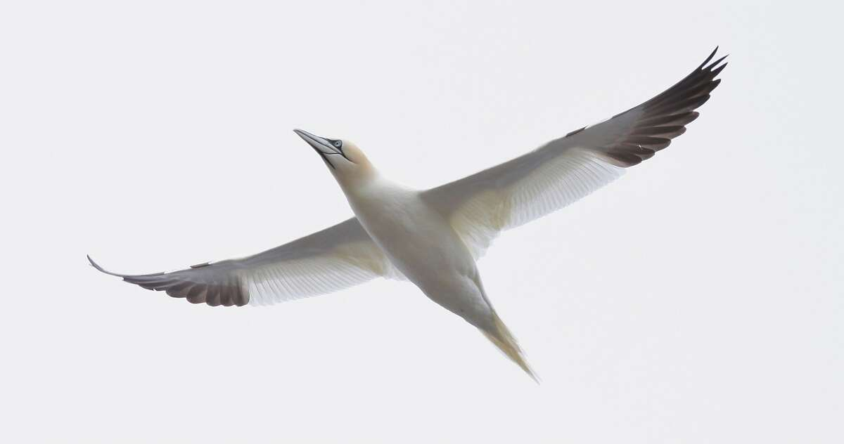 Close up of the Northern Gannet