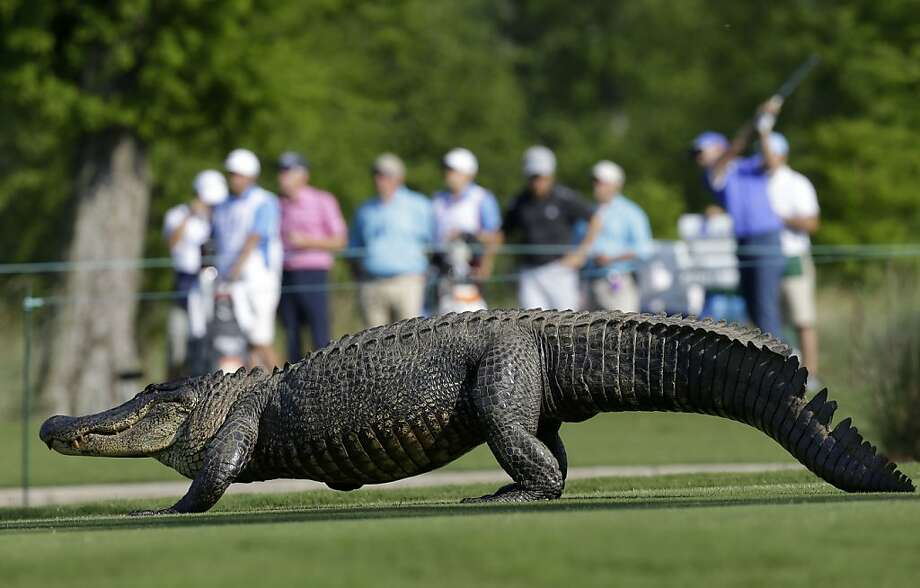 An alligator crosses the 14th fairway during the first round of the PGA Tour Zurich Classic golf tournament at TPC Louisiana in Avondale, La., on Thursday, April 25, 2013.  Photo: Gerald Herbert, Associated Press