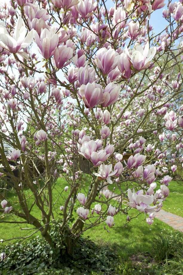 Magnolia (Fotolia.com) / D. Ott - Fotolia