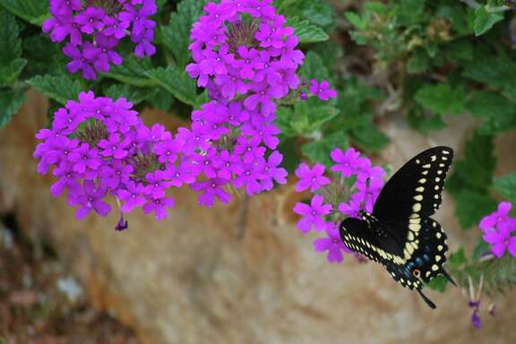 Homestead Purple verbena draws an assortment of butterflies.