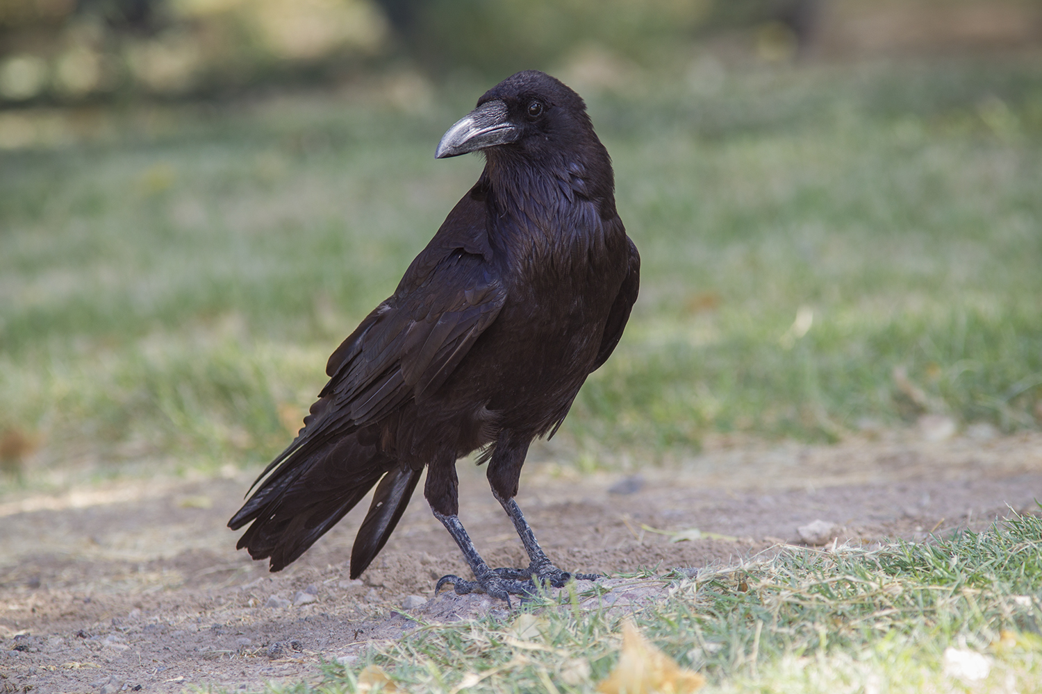 tips for identifying ravens and crows houston chronicle