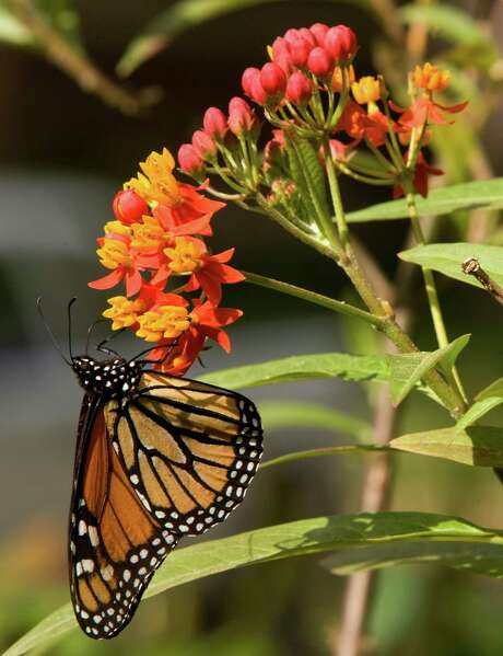 Butterflyweed is the host plant for monarch butterflies. Monarch populations are down due to drought. Add the sun-loving perennial to your garden to help provide food for these winged insects. Photo: Brett Coomer, Staff / Houston Chronicle