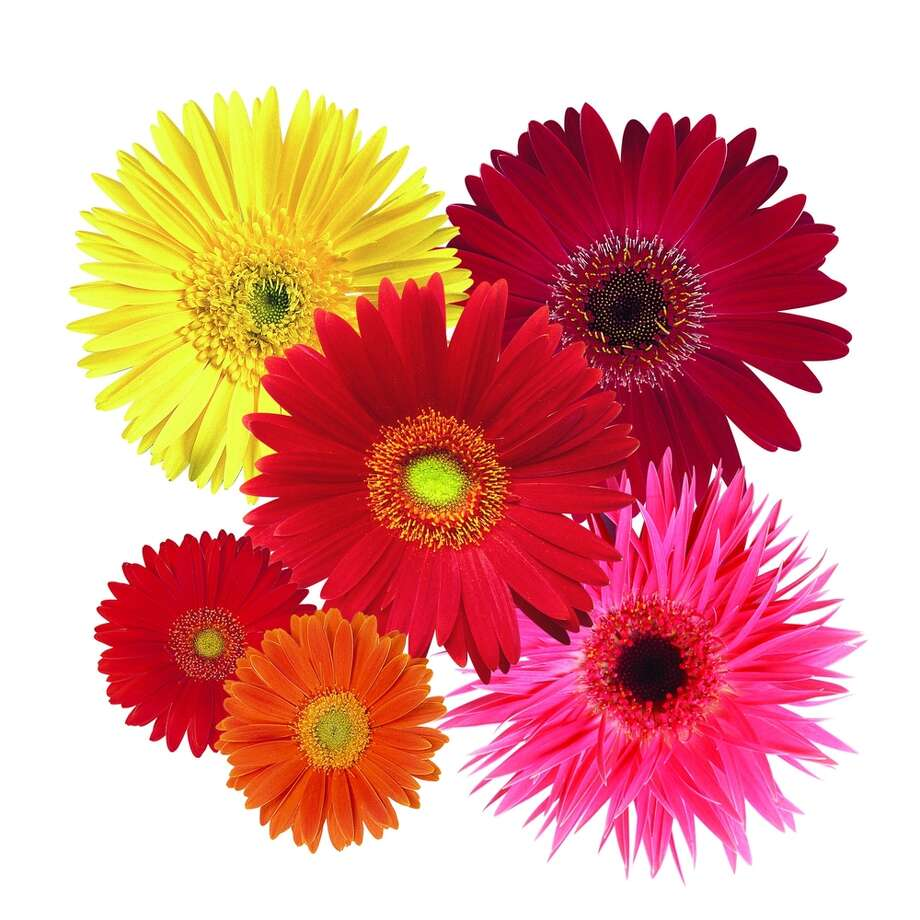 Festival Mix Gerbera. National Garden Bureau photo