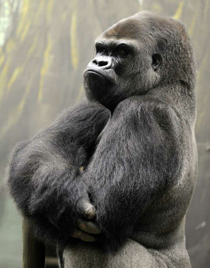 Viewers insist they see an ape, perhaps like this silverback gorilla, flashing on the Channel 2's 6 p.m. newscast. Photo: JEAN-CHRISTOPHE VERHAEGEN, Stringer / AFP
