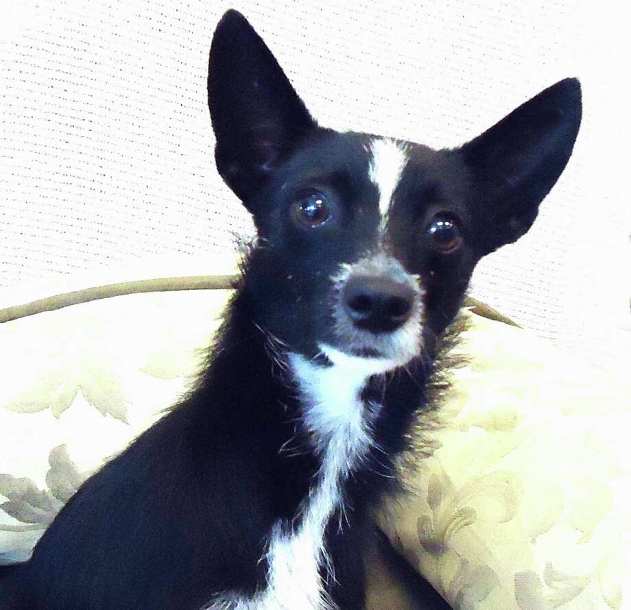 Pethouse Pet of the Week Cherry Blossom is a beautiful, 8 month, female, black and white Chihuahua/Terrier mix.  She's only 8 lbs and just a little bigger than a 'pocket pup' but still very small She was found as a stray and brought to CAP, but it's obvious that she's a sweet, shy girl, who will blossom in a loving home if just given the chance. Photo: --