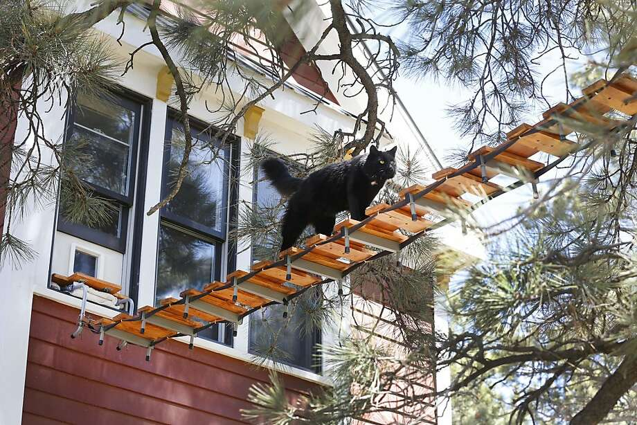 Cat crossing:Gus traverses a 13-foot-long tree bridge that two renters in a Durango, Colo., apartment built 