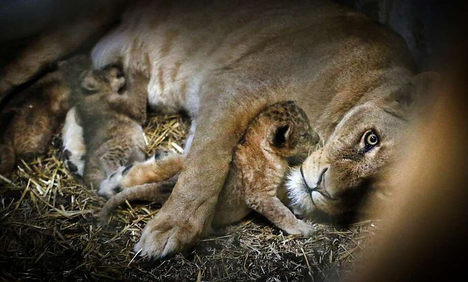 Dinner with the kids: Tia relaxes with her brood at the Emmen Zoo in Emmen, Netherlands. She had four cubs on April 7. Photo: Catrinus Van Der Veen, AFP/Getty Images