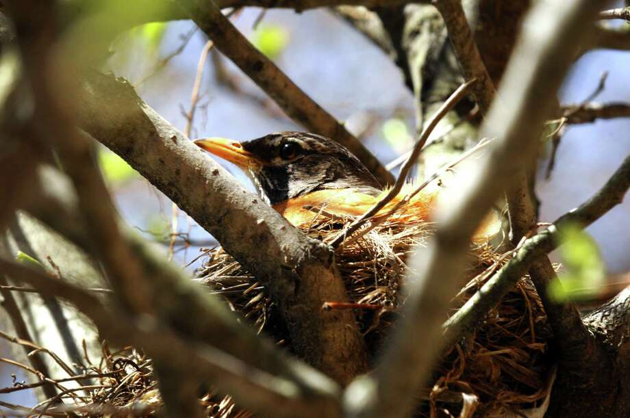 A robin sits in it's nest in a tree outside the Albany Visitors Center on Friday April 26, 2013 in Albany, N.Y. (Michael P. Farrell/Times Union) Photo: Michael P. Farrell