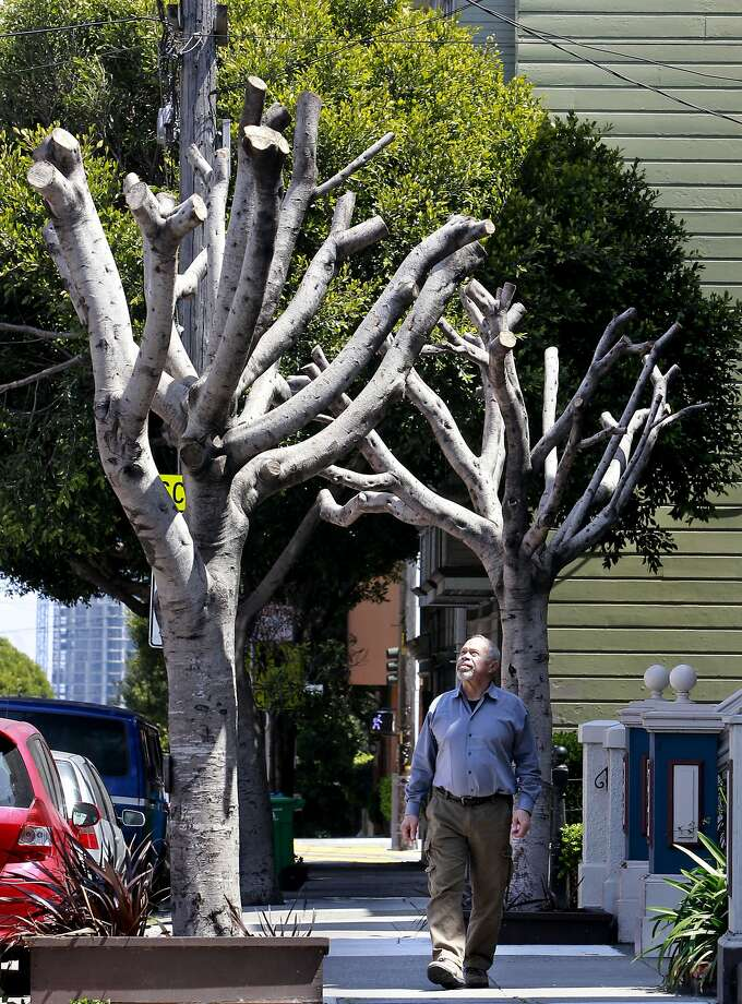 "Homeowner Bernard Schweigert, in front of his home along Oak Street with the two Ficus Microcarpa Nitalda trees on his front sidewalk, in San Francisco, Calif., on Friday April 26, 2013. Informed by the City of San Francisco that he is responsible for the maintenance of the trees in front of his home, Schweigert had the trees ""pollarded"" which is supposed to slow the growth. The city informed him that the process was not done properly and then fined him $1,700 per tree. Photo: Michael Macor, The Chronicle"
