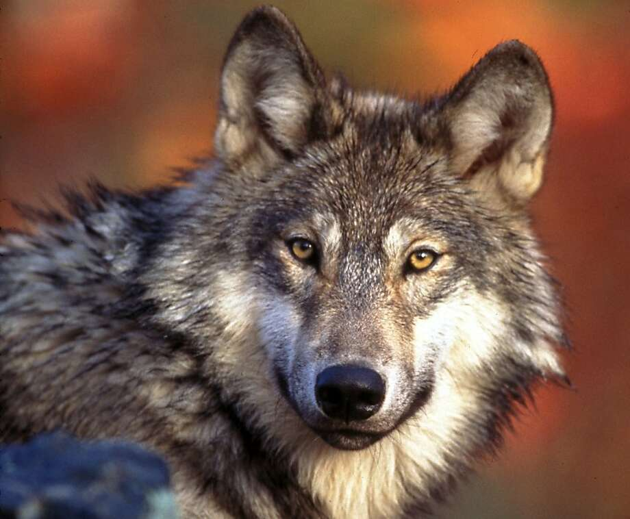 The draft U.S. Fish and Wildlife Service regulation would strip federal protections from the gray wolf. Photo: Anonymous, Associated Press