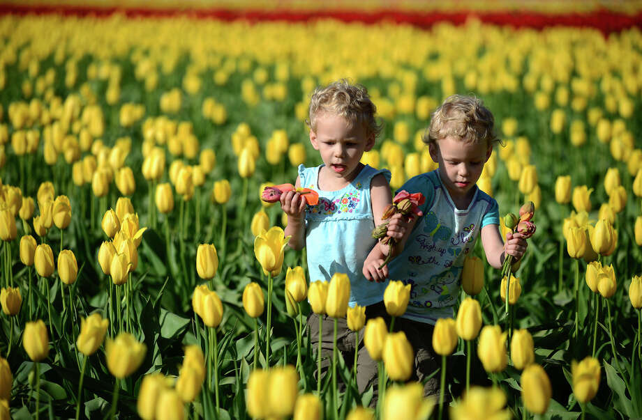 In this photo taken Thursday, April 26, 2013, Zoe Wilson, left, and Sophia Wilson, 3-year-old twins from Randle, Wash., play in the DeGoede's Bulb Farm tulip fields in Mossyrock, Wash. Sunny weather in the beginning of the week brought the colorful field of tulips in to full bloom allowing passersby on Highway 12 to stop and smell the flowers. (AP Photo/The Chronicle, Pete Caster) Photo: Pete Caster, Associated Press / The Chronicle