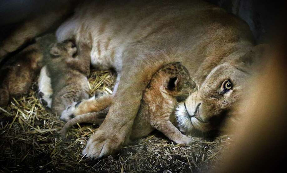 Cubs of Tia, a lioness, huddle close together in their enclosure in the Emmen Zoo in Emmen, The Netherlands, on April 26, 2013. The four cubs were born on 7 April 2013. AFP PHOTO/ CATRINUS VAN DER VEEN Photo: CATRINUS VAN DER VEEN, AFP/Getty Images / AFP