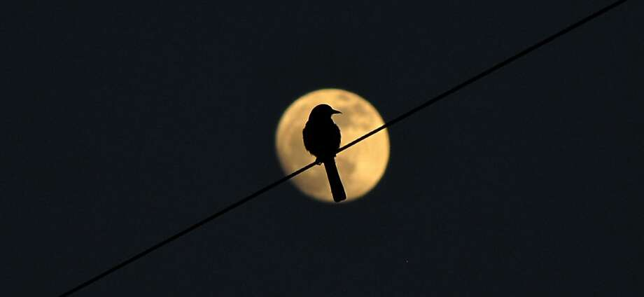 A bird is perched on a wire as the full moon rises Tuesday, April 23, 2013 in Bremerton, Wash.  Photo: Larry Steagall, Associated Press