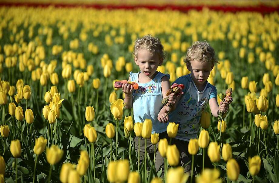 Zoe Wilson, left, and Sophia Wilson, 3-year-old twins from Randle, Wash., play in the DeGoede's Bulb Farm tulip fields in Mossyrock, Wash. Sunny weather in the beginning of the week brought the colorful field of tulips in to full bloom allowing passersby on Highway 12 to stop and smell the flowers.  Photo: Pete Caster, Associated Press