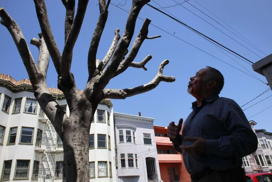 "Homeowner Bernard Schweigert, in front of his home along Oak Street with one of two Ficus Microcarpa Nitalda trees on his front sidewalk, in San Francisco, Calif., on Friday April 26, 2013. Informed by the City of San Francisco that he is responsible for the maintenance of the trees in front of his home,  Schweigert had the trees ""pollarded"" which is supposed to slow the growth. The city informed him that the process was not done properly and then fined him $1,700 per tree."