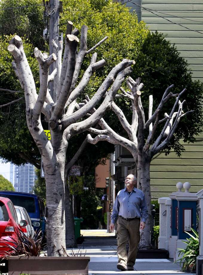 "Homeowner Bernard Schweigert, in front of his home along Oak Street with the two Ficus Microcarpa Nitalda trees on his front sidewalk, in San Francisco, Calif., on Friday April 26, 2013. Informed by the City of San Francisco that he is responsible for the maintenance of the trees in front of his home, Schweigert had the trees ""pollarded"" which is supposed to slow the growth. The city informed him that the process was not done properly and then fined him $1,700 per tree."