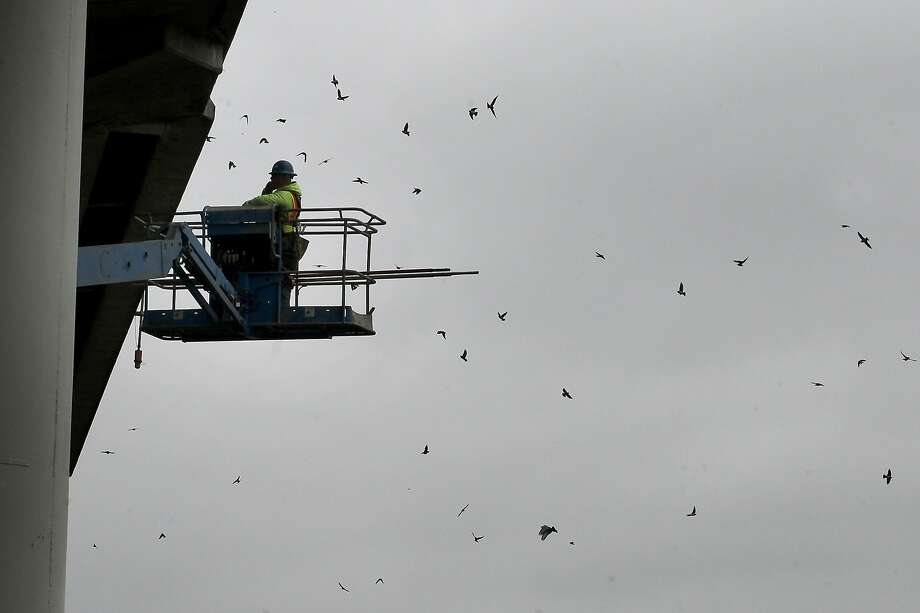 A construction worker uses a cherry picker to watch swallows as they swarm around the Petaluma River Bridge. Photo: Brant Ward, The Chronicle