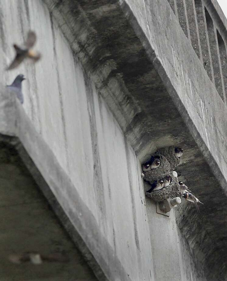 Swallows continue to try to nest on the Petaluma River bridge despite netting to keep them away. Photo: Brant Ward, The Chronicle