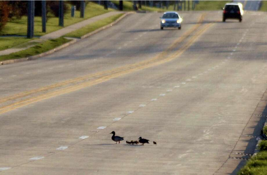 In this Thursday, April 25, 2013 photo, a family of ducks crosses a road after police officers rescued the eight ducklings from a storm sewer in Normal, Ill. The rescue happened when pedestrians saw two distraught ducks near a storm drain and then heard peeping from a manhole cover. Photo: AP