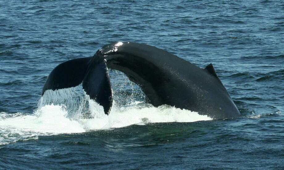 This 2012 photo provided by the journal Science shows a female Humpback whale named Filament lobtailing prior to feeding dive. Some wild animals seem to follow the same monkey-see, monkey-do social conformity in the quest for good food that people do, a new study finds. Monkeys in South Africa instantly switched food choices _ to something they used to avoid _ purely because of peer pressure, like teenagers in high school, scientists say. And generations of humpback whales off the coast of New England learned a new feeding technique from watching what worked for one of them, according to two studies in Thursday's journal Science. Photo: AP