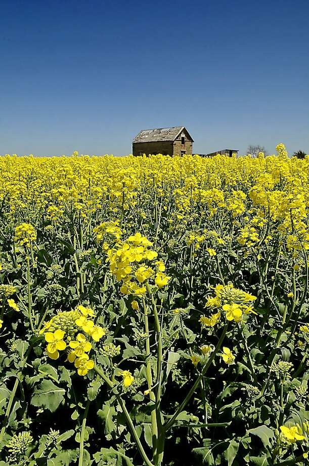 A canola field blooms along Highway 74 south of Garber, Okla. Photo: Billy Hefton, Associated Press