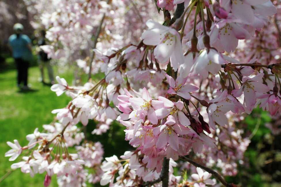 Cherry blossoms in bloom at the 21st Annual Cherry Blossom Festival and 5K Race for ALS at the Congregation Gates of Heaven on Sunday, April 28, 2013 in Schenectady, NY. Money raised from the event goes to support the St. Peter?s ALS Regional Center. St. Peter?s ALS Regional Center has been providing people with Amyotrophic Lateral Sclerosis (ALS), and their families with a specialized blend of services and resources since 1988. (Paul Buckowski / Times Union)