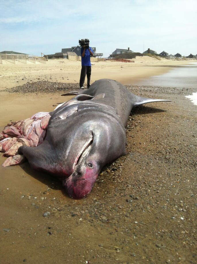 A 28-foot basking shark washes up on beach Photo: Contributed Photo / Connecticut Post Contributed