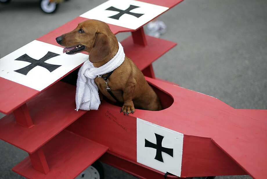 Spoiling for a dogfight:Barron, the Kaiser's ace wiener dog, flies his Fokker triplane in San Antonio's 