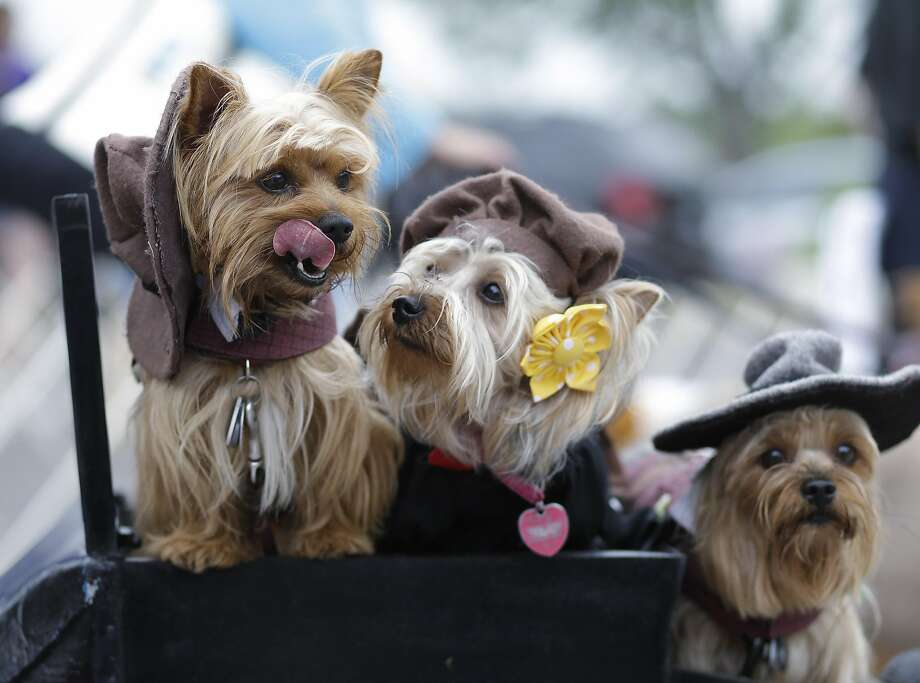 Hats entertainment: You can go months without seeing a terrier in a cowboy hat or a beret in San Antonio. Unless, of course, it's the Fiesta Pooch Parade, when you're liable to meet a whole posse of covered lapdog heads. Photo: Eric Gay, Associated Press