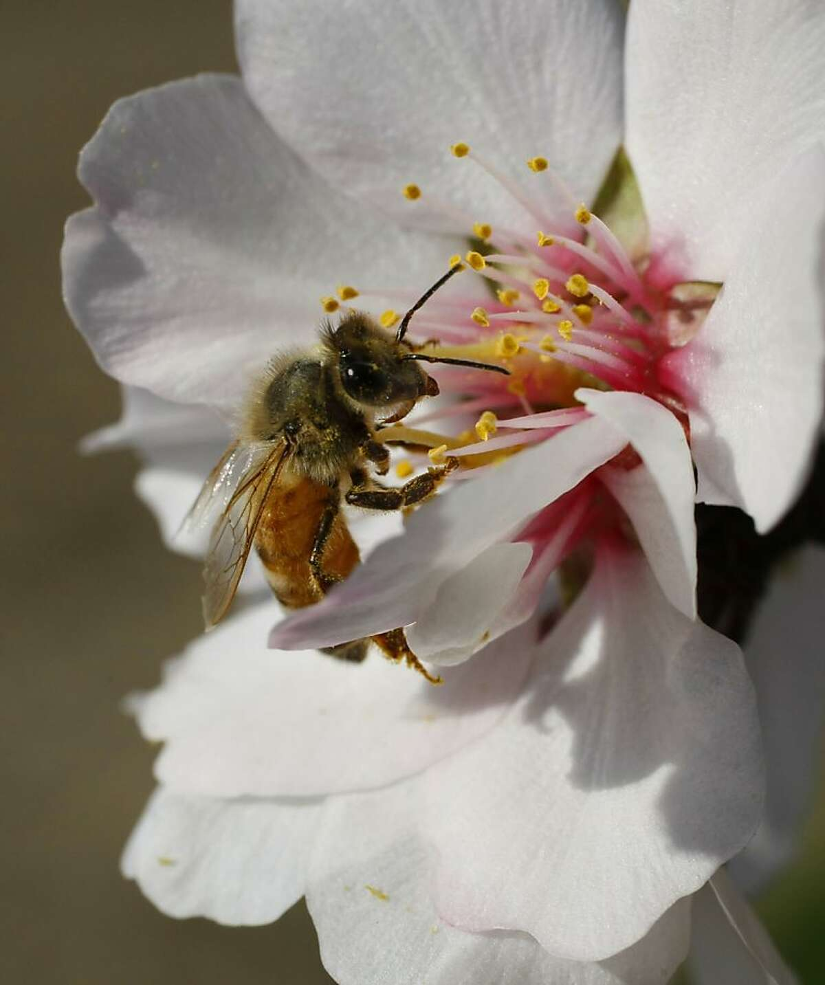 A special breed of honeybee from Arizona gathers pollen from an almond blossom in a Dixon, Calif. orchard on March 3, 2008. Researchers at UC Davis are experimenting with various breeds of bees hoping to find one that can resist the diseases and parasites that are affecting bees throughout the country, a huge threat to agriculture. Bees are needed to pollinate many of California's crops, including the almond trees now in full bloom. Photo by Michael Maloney / San Francisco Chronicle