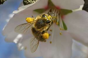 """A special breed of honeybee from Arizona gathers pollen from an almond blossom in a Dixon, Calif. orchard on March 3, 2008. The two orange colored """"pollen baskets"""" or corbicula are visible on it's legs. Researchers at UC Davis are experimenting with various breeds of bees hoping to find one that can resist the diseases and parasites that are affecting bees throughout the country, a huge threat to agriculture. Bees are needed to pollinate many of California's crops, including the almond trees now in full bloom.  Photo by Michael Maloney / San Francisco Chronicle"""