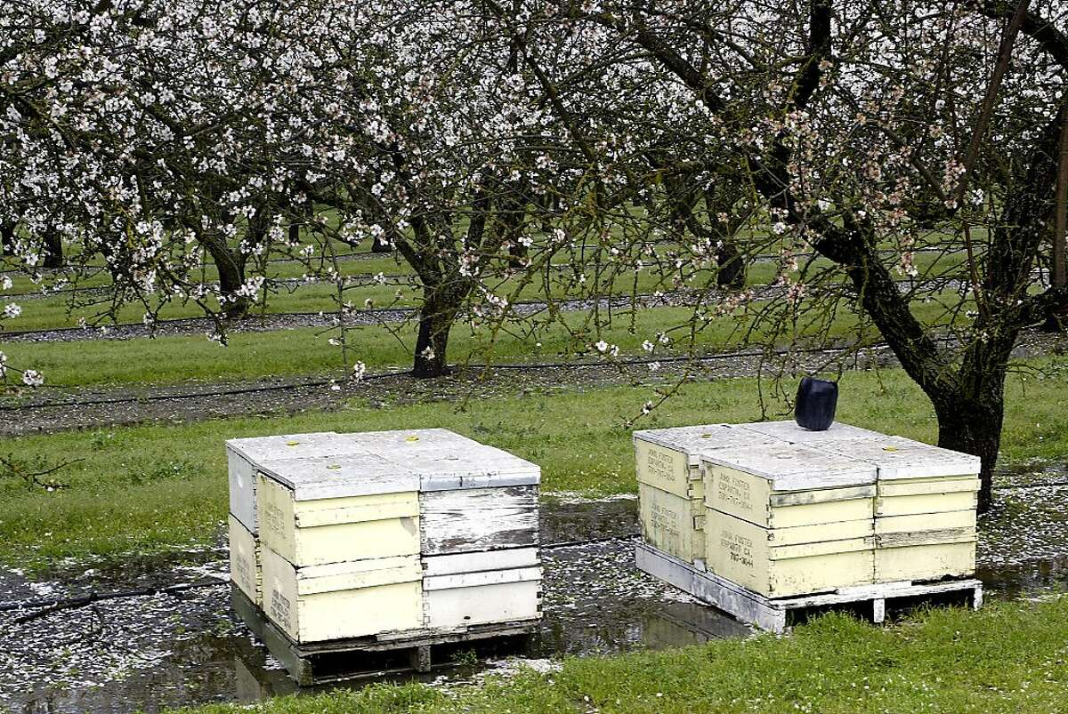 ALMONDS12_029LH.JPG Here are some beehives during wet and rainy weather. Bees are an essential part of almond pollinization. Wet and cold weather, such as we've had lately, discourages bee activity. Shot on 3/1/04 in Arbuckle. LIZ HAFALIA / The Chronicle Ran on: 02-24-2005 Bees essential role in almond production is hurt by rain.