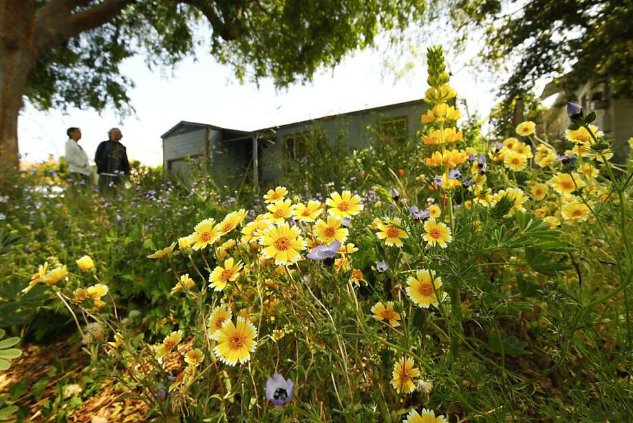 Layia platyglossa (a.k.a. tidy tips) glows in the El Cerrito front yard of Donna Bodine and Jim Durkin. Photo: Craig Lee, Special To The Chronicle