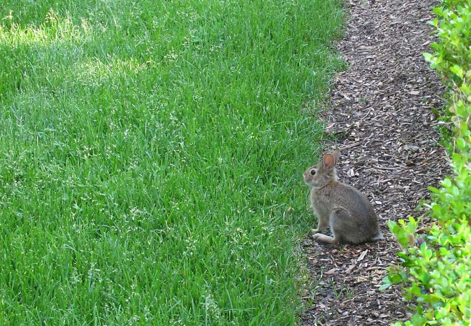 Clearing undergrowth helps reduce cover in which cottontails can hide. Photo: Pam Peirce