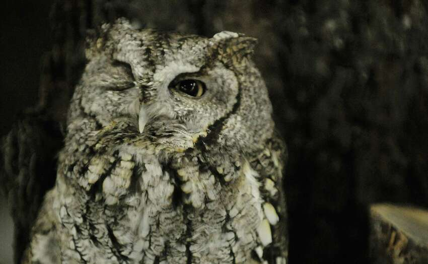 Eastern screech owl with Adirondack Wildlife Refuge and Rehabilitation Center opens one eye as it sits on a perch during