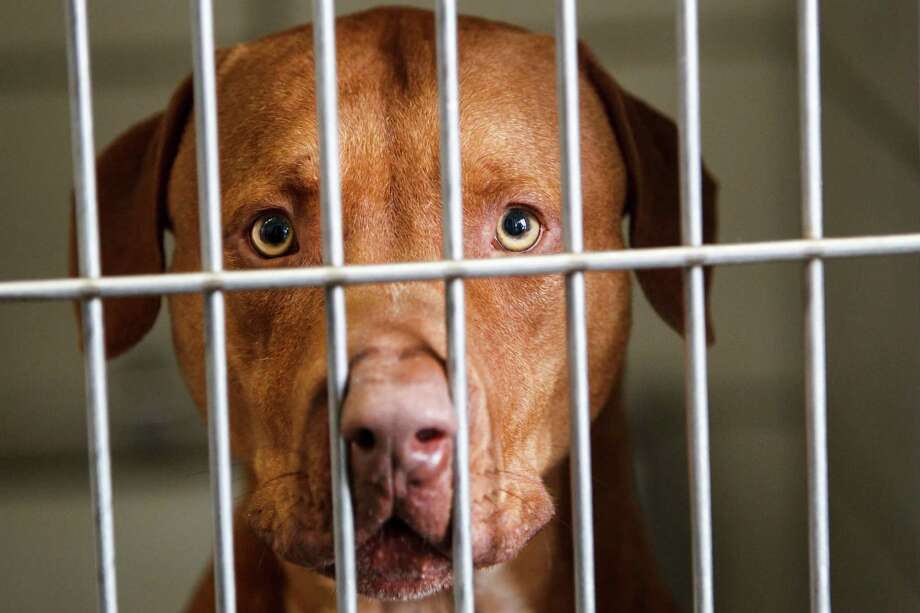 Houston's Bureau of Animal Regulation and Care is trying to cut its euthanasia rate. Photo: Michael Paulsen, Houston Chronicle / © 2012 Houston Chronicle