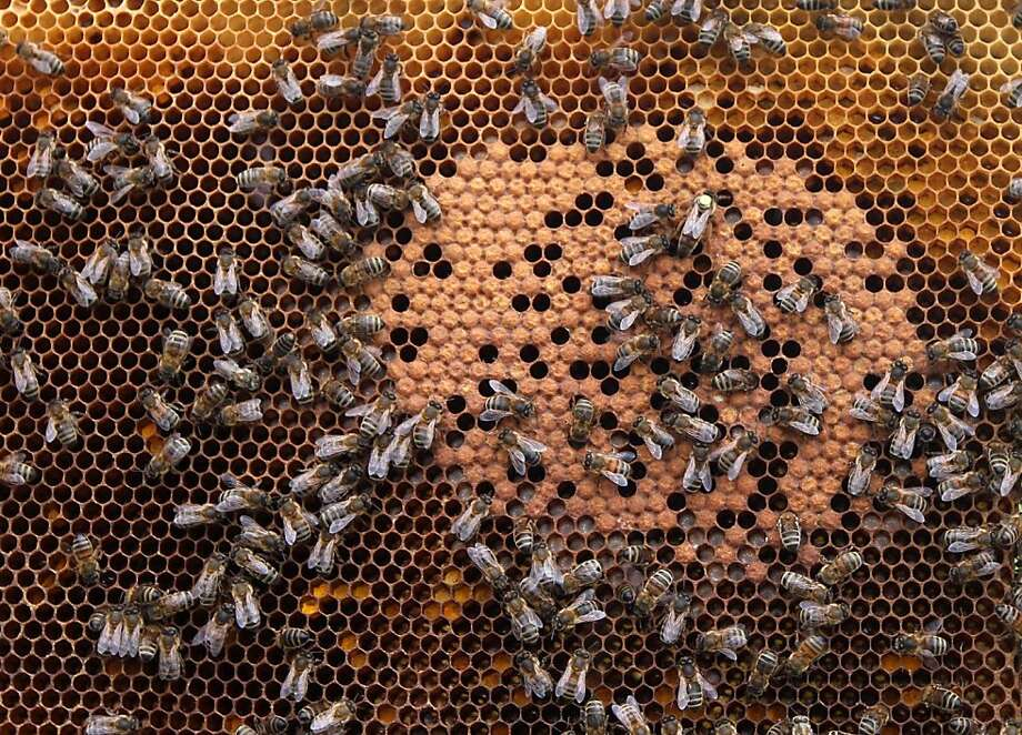 In this photo taken Monday, April 15, 2013, honey bees and the queen (with yellow dot) sit on a honeycomb in Wezembeek-Oppem near Brussels. EU Member States meet on Monday April 29, to decide on a proposal by the European Commission to impose a 2-year moratorium on neonicotinoid pesticides, which many scientists agree are the driving force behind Europe's dramatic bee decline. (AP Photo/Yves Logghe) Photo: Yves Logghe, Associated Press