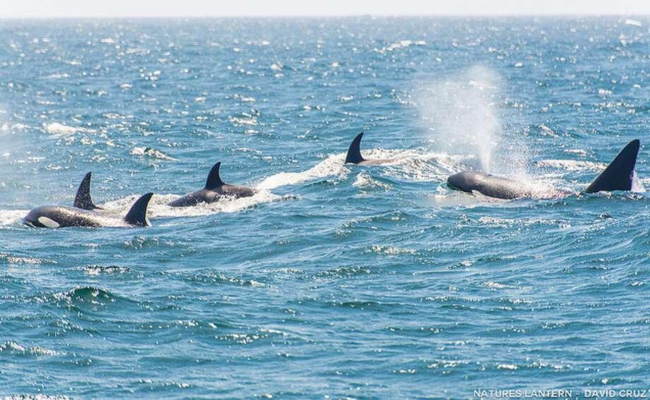 Pod on the hunt for gray whale calves