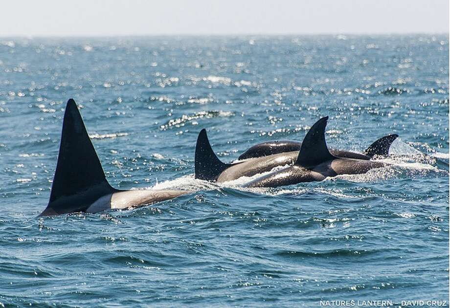 Orcas on the prowl