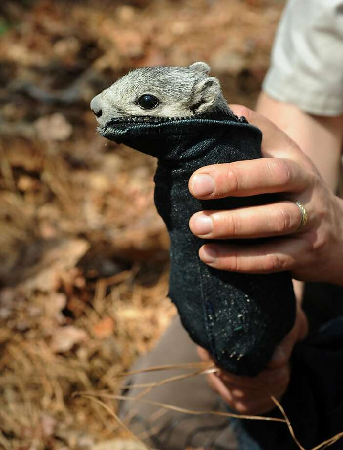 Can't find a duffel that will fit your arboreal rodent? Tired of squirrels running amok in your luggage? Introducing the Squirfel®, the first duffel bag made especially for squirrels. Constructed of sturdy 600-denier nylon cordura, the Squirfel has plenty of padding to protect furry critters while keeping them snug and immobile. (This Delmarva Peninsula fox squirrel is about to be weighed at the Blackwater National Wildlife Refuge in Maryland.) Photo: Algerina Perna, McClatchy-Tribune News Service