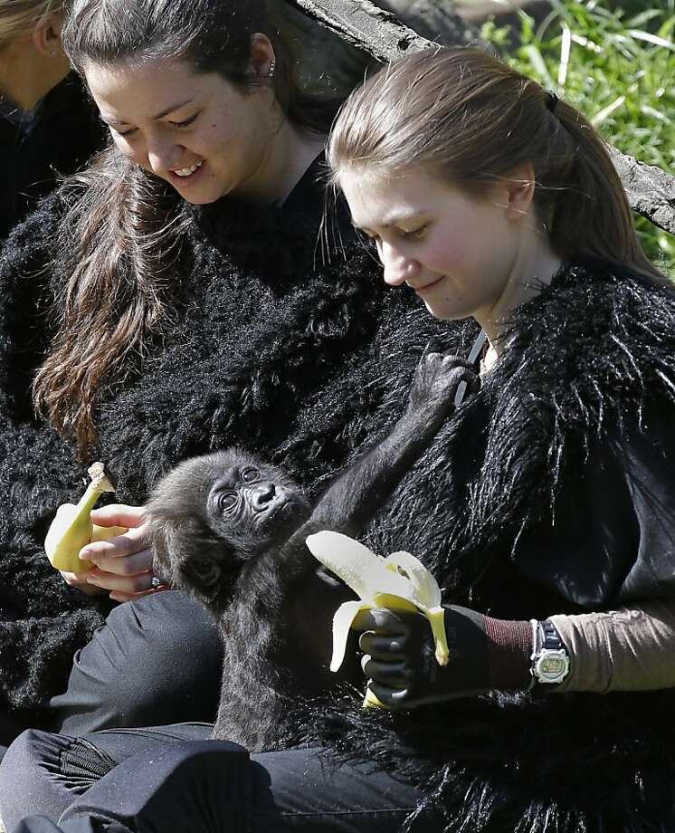 "I thought having human parents meant I would get a Happy Meal for lunch... Gladys looks uninterested in the snack banana presented by ""Mom"" Ashley Chance. Photo: Al Behrman, Associated Press"