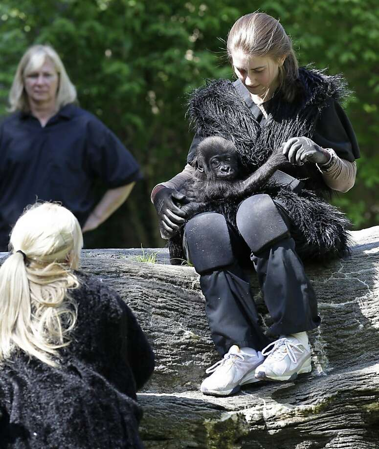 Are you my mommy too?!Zoo workers and volunteers are acting as surrogate mothers to prepare the baby to be introduced to two female gorillas at the Cincinnati Zoo. Humans wear vests and materials to make them appear more like a gorilla. Photo: Al Behrman, Associated Press