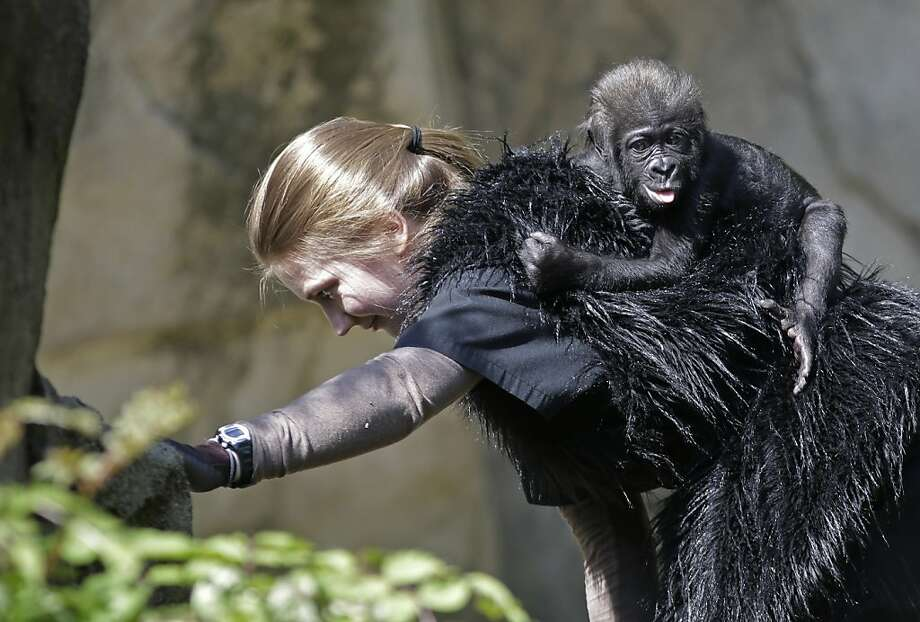 Tally-ho!Ashley Chance carries a three-month-old western lowland gorilla named Gladys in the outdoor gorilla exhibit at the Cincinnati Zoo. The baby gorilla was born Jan. 29 at a Texas zoo to a first-time mother who wouldn't care for her. Zoo workers and volunteers are acting as surrogate mothers. Photo: Al Behrman, Associated Press